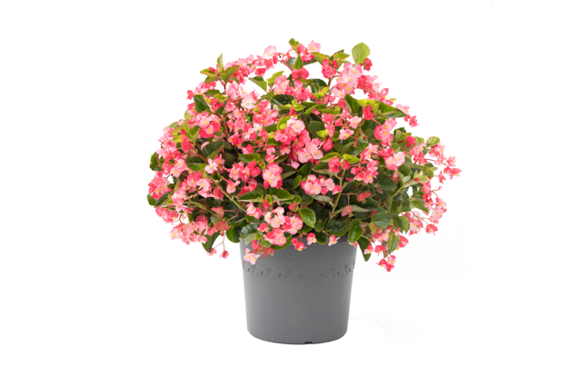 Assortment Begonia Viking