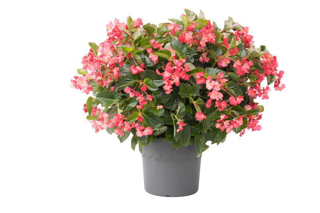 Assortment Begonia Viking XL