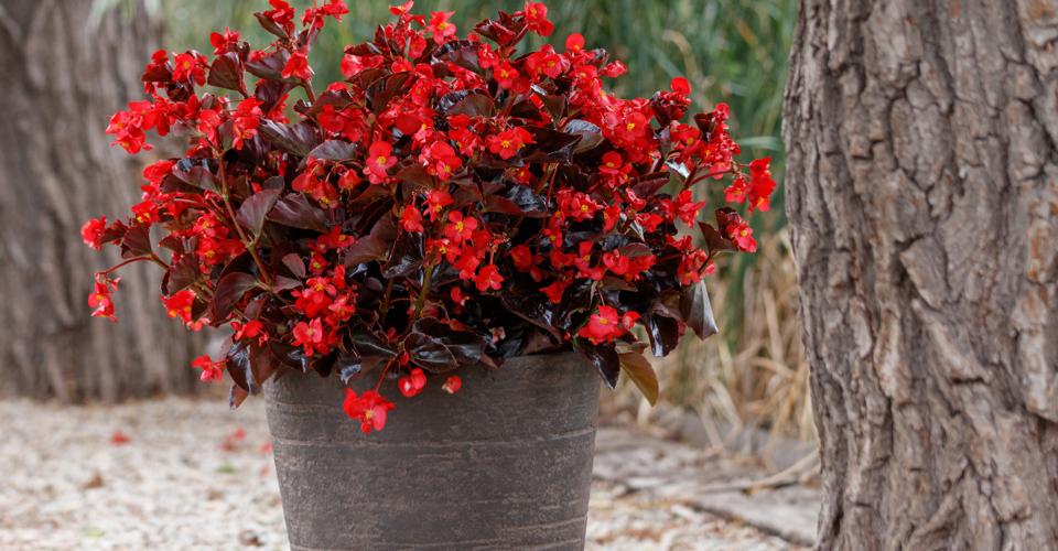 Begonia Viking serie