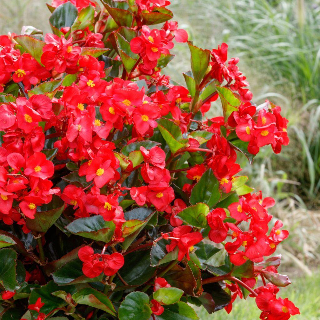 Begonia Viking