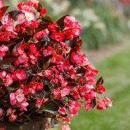 Begonia Viking XL