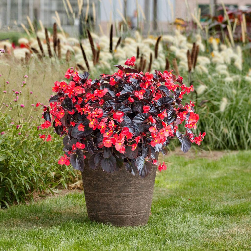 Begonia Viking XL